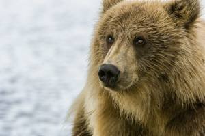 Removing federal protections for grizzly bears in the Greater Yellowstone Ecosystem would all but guarantee the trophy hunting of this iconic species in Idaho, Montana, and Wyoming. Photo by John E. Swallow