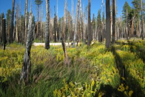 A severe fire cleared an area of forest in the Illilouette Creek basin in Yosemite National Park, allowing it to become a wetland. Wetlands and meadows provide natural firebreaks that make the area less prone to catastrophic fires. (Scott Stephens photo)