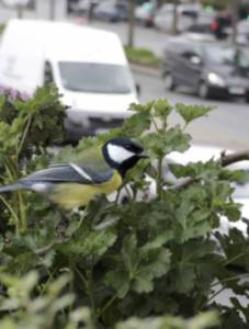 A great tit listens for predators near a busy road. Noise pollution could reduce its ability to detect dangerous predators in its environment. Credit: Sue Anne Zollinger & Richard Ubels