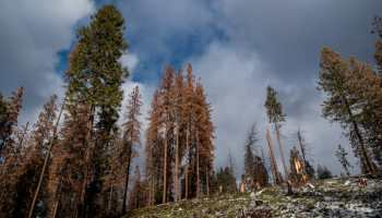 A massive tree die-off struck California's Sierra Nevada mountain range at the end of the 2012-2015 drought. Numerous stands, such as the one near Soaproot Saddle (pictured), suffered significant losses caused by the exhaustion of soil water supplies tapped by the trees' deep roots, a recent UCI, UC Merced study concluded. Margot Wholey / UC Merced