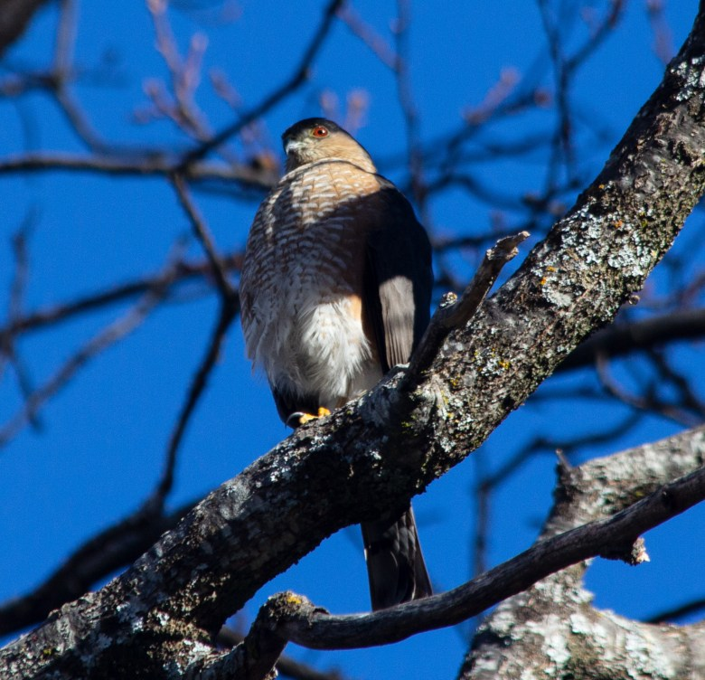 Sharp-shinned hawk hanging out at YubaNet HQ, patiently waiting for a morning snack.