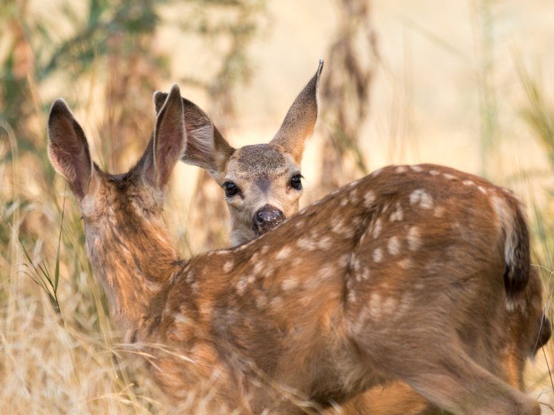 A pair of mule deer fawns at Sacramento's American River Parkway on August 24, 2018. (CDFW Photo/Travis VanZant)