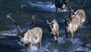 ANWR Caribou and river