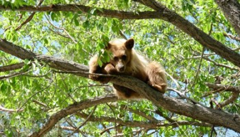 Yearling on its own in tree (medium dog size) courtesy NDOW