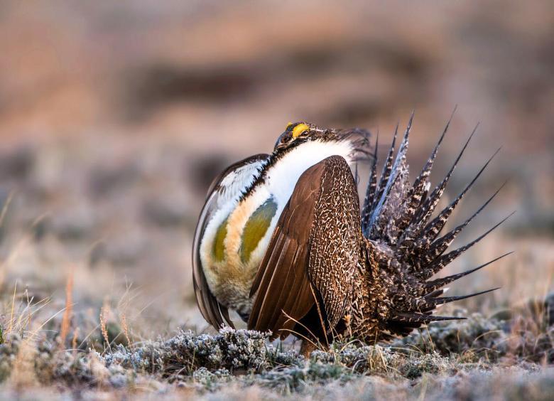 Greater Sage-Grouse adult male. Photo: M. Verdon Tomajko/Audubon Photography Awards