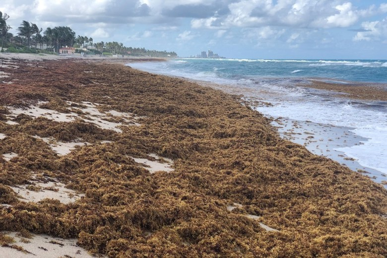 A photo taken this month shows Sargassum piled up on a beach in Palm Beach County, Florida. (Photo credit: Brian Lapointe, Ph.D.)