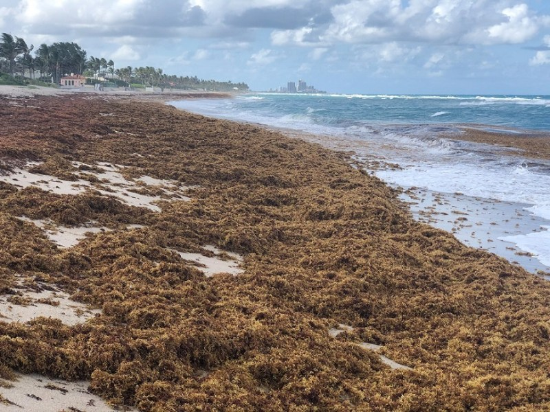 A photo taken this month shows Sargassum piled up on a beach in Palm Beach County, Florida.
