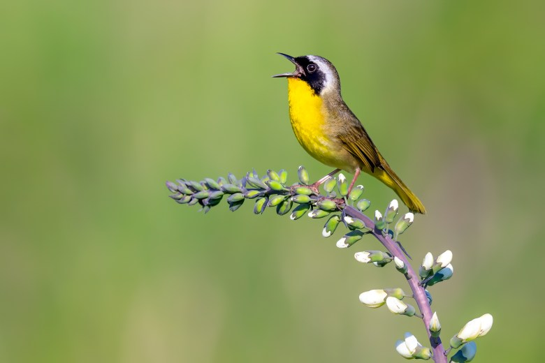 Common Yellowthroat by Brad Imhoff_Macaulay Library at the Cornell Lab of Ornithology