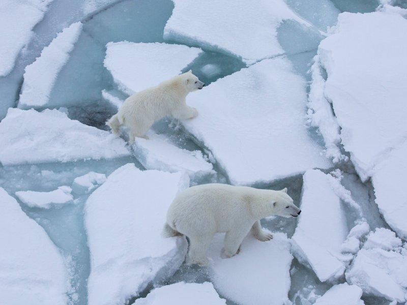 Polarbear mom and cub get close Polarstern.