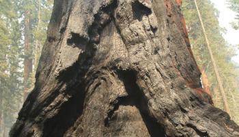 Burn Scar - Giant Sequoia. Photo: Mike McMillan - BIA