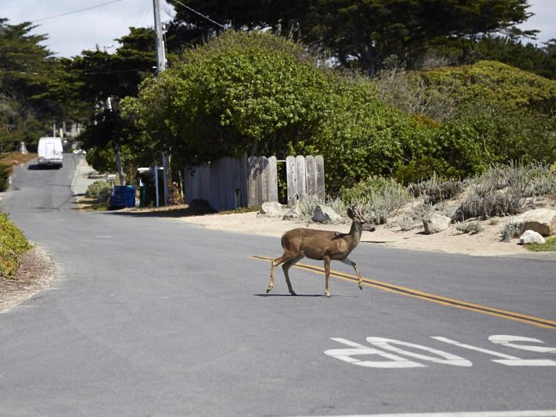 Little deer crossing the road
