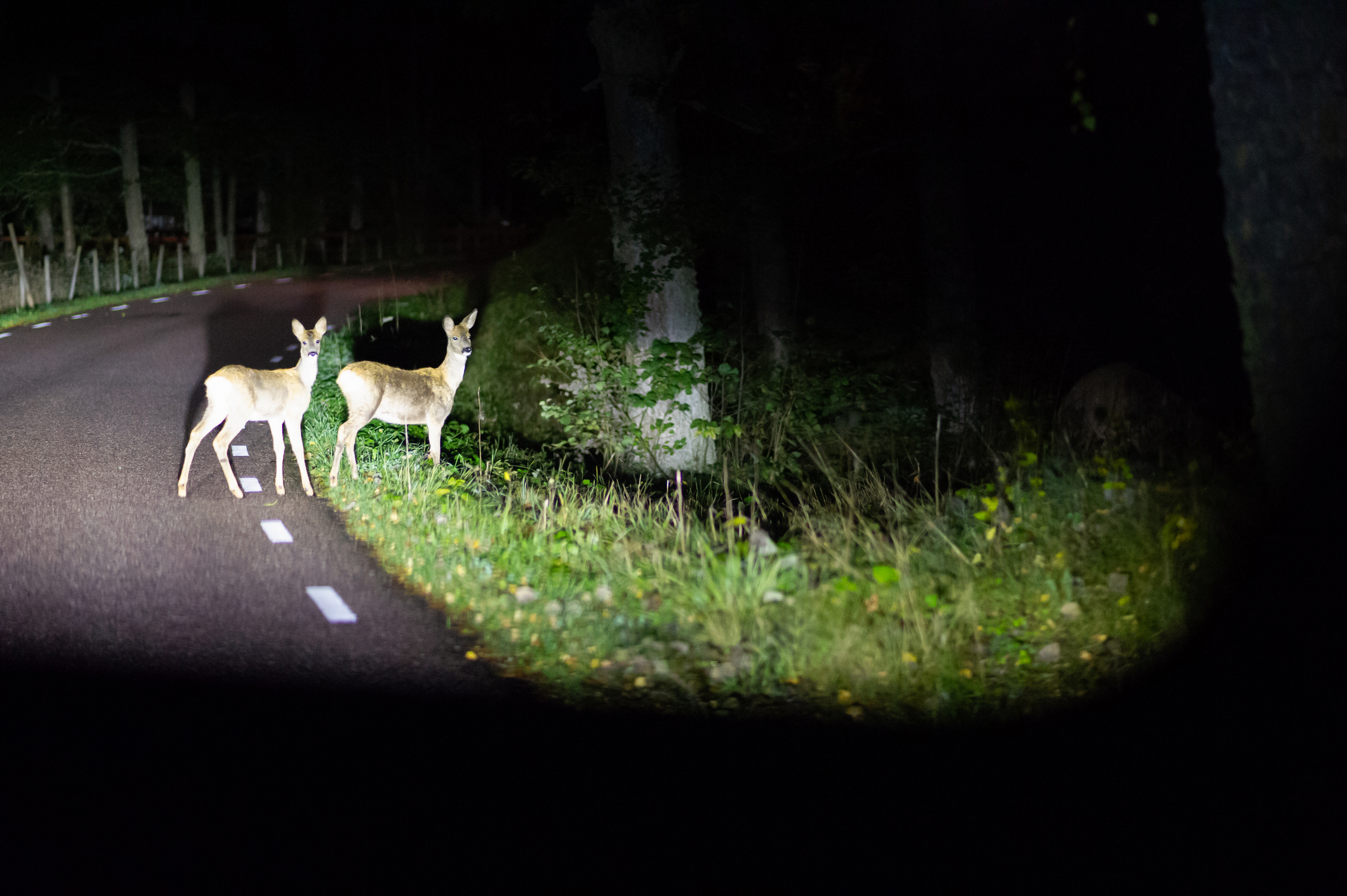 Deer crossing the road seen from the car late at night