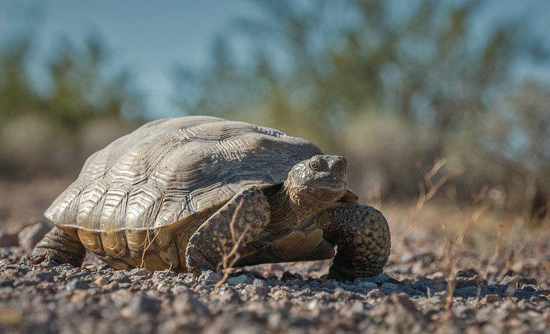 Mojave desert tortoise. Photo credit, U.S. Fish and Wildlife Servic