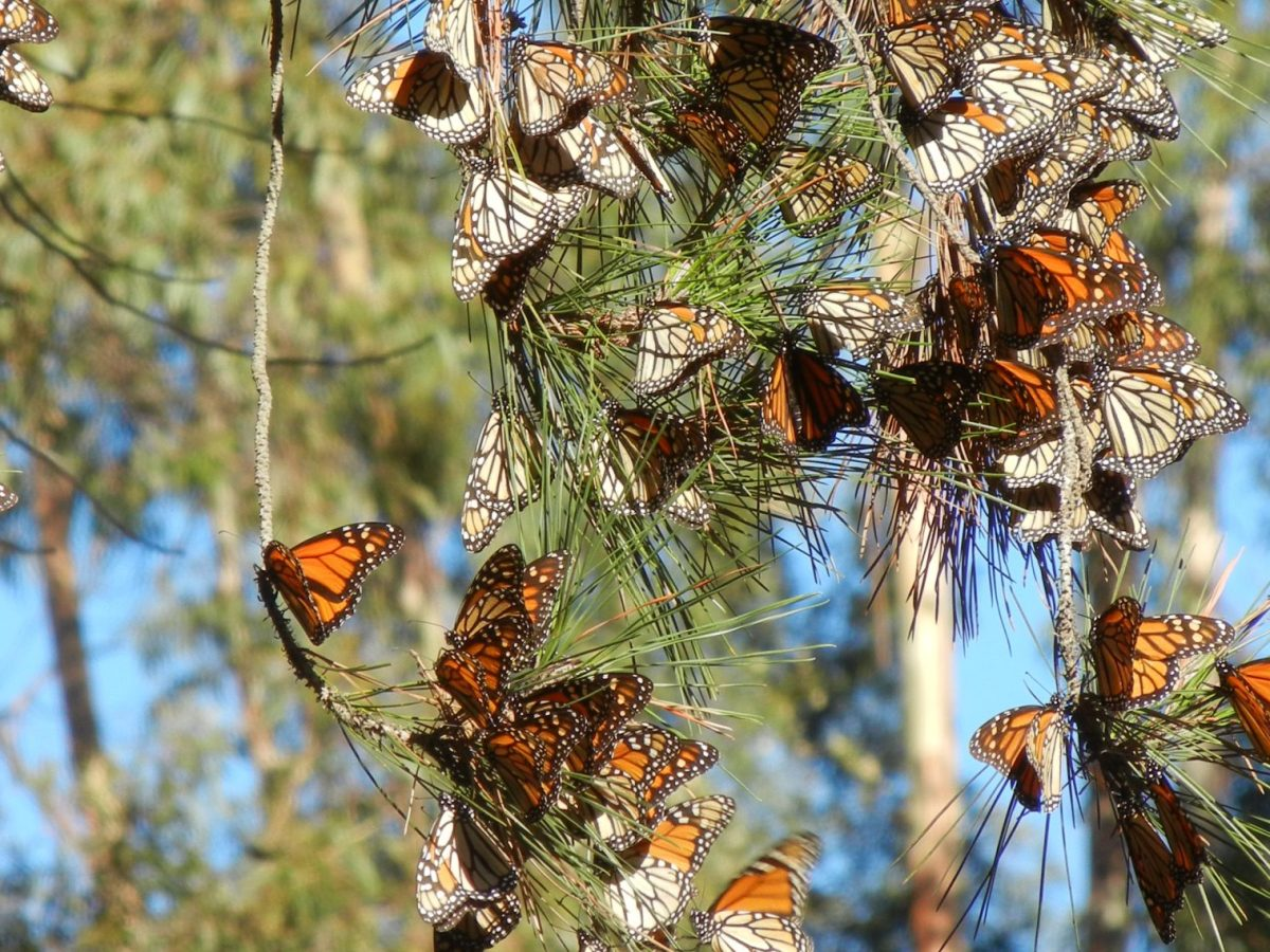 Preventing destruction of overwintering groves and planning appropriate management is an essential step in securing a future for the western monarch migration.