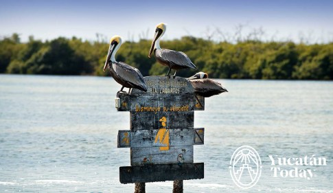 Rio Lagartos pelicanos