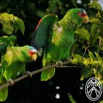 Cherie's Bird of the Month: White-fronted Parrot