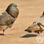 Cherie's Bird of the Month: Rock Pigeon, Part 1