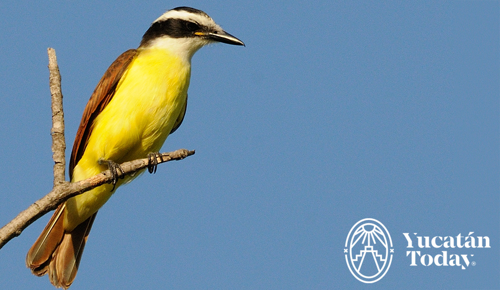 Cherie's Bird of the Month: Great Kiskadee