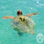 Marine Turtles in Yucatán