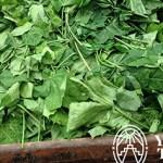 La Chaya y sus propiedades nutricionales