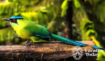 Pajaro Toh Avistamiento Birdwatchers Yucatan observacion aves