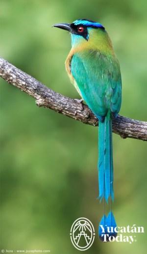 Pajaro Toh Aves Avistamiento birdwatchers Yucatan