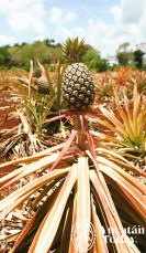 Mayaland-Adventures-Vintage-Car-Experiences-Pina-Pineapple