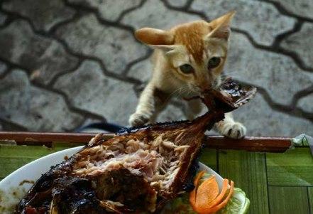 pringsewu_kucing_0328