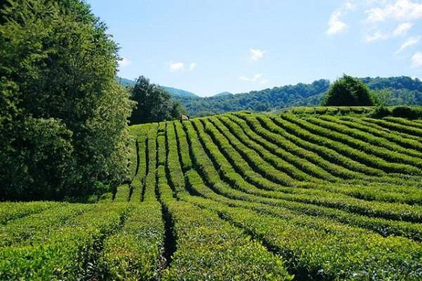 Сочи чайные плантации