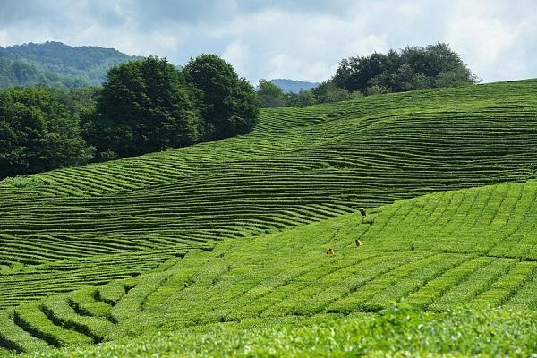 Продукция Мацестинской чайной фабрики