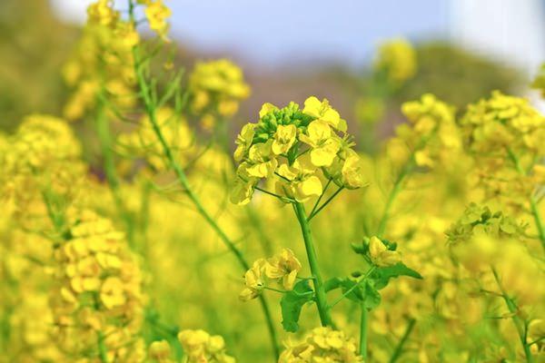 揺れる菜の花畑