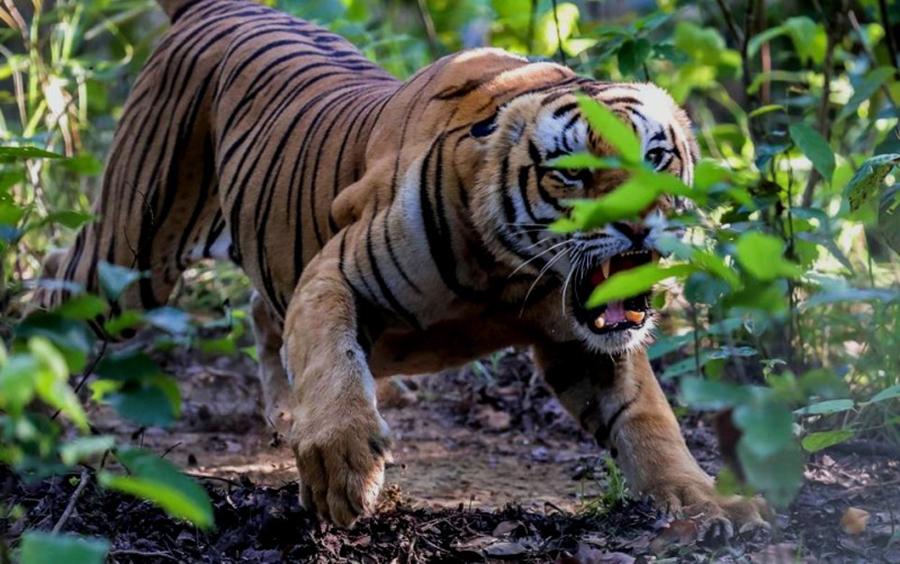 आईतबार बर्दियामा बाघको आक्रमणबाट निकुञ्जका एक कर्मचारीको  मृत्यु