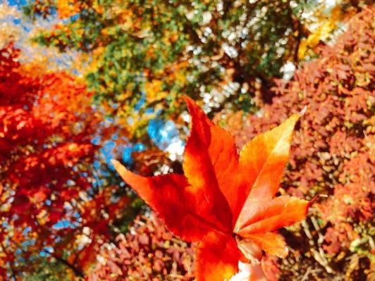 北海道楓葉