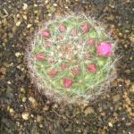 2008年5月6日。もうすぐ咲きそう。