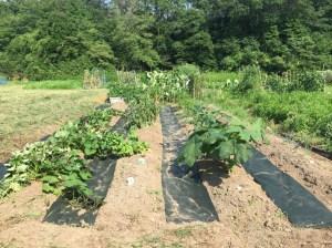 7月の畑 除草シート処理