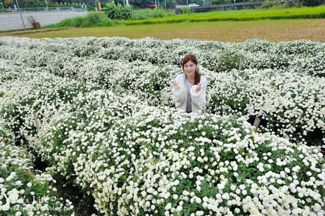 2018苗栗銅鑼杭菊節【菊祥如芋】九條路線×趴趴造賞花趣!