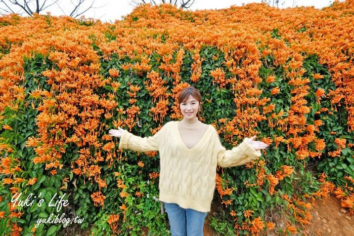 苗栗免費景點【銅鑼炮仗花海公園】粉橘雙色花牆接力到三月!