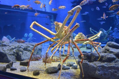 Japanese spider crab. They are freakishly huge with legs that can reach up to 3.8 metres.