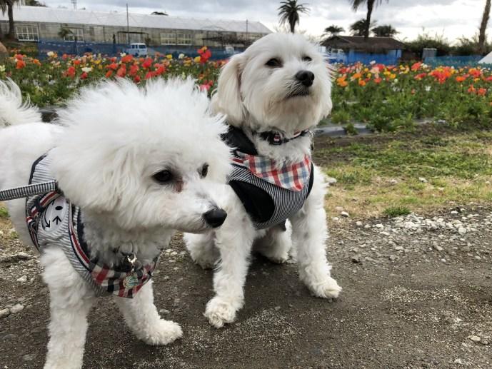 【白浜フラワーパーク】犬も大歓迎の海が見える花畑【千葉・房総】 ポピー