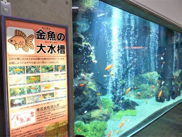 金魚の大水槽