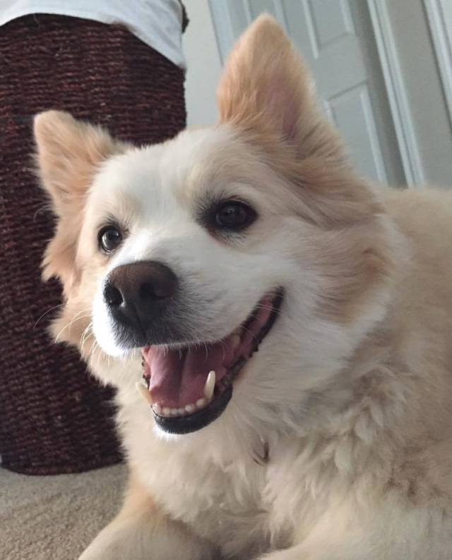 Otis is a 12-year old American Eskimo who needs somewhere more permanent to live.