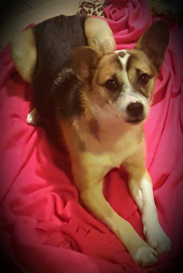 Jewel is a female, 4-month old Corgi/Jack Russell Cross.