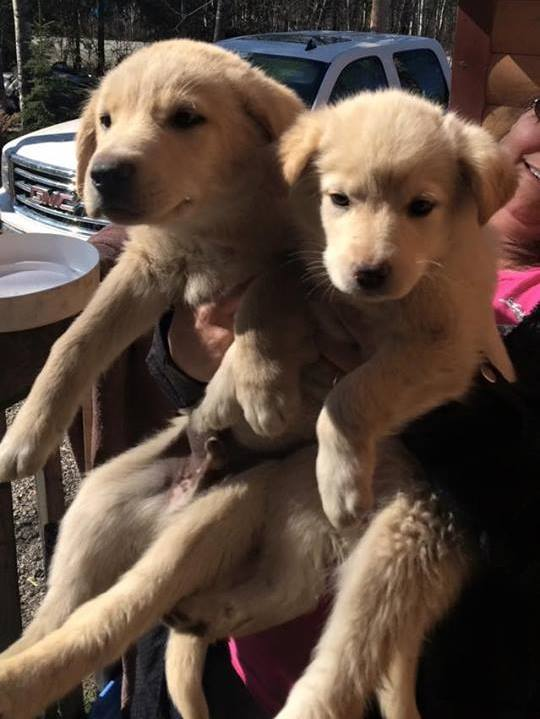 Coffee (left, male) and Baileys (right, female) are Husky/Shepherd x pups looking for homes.