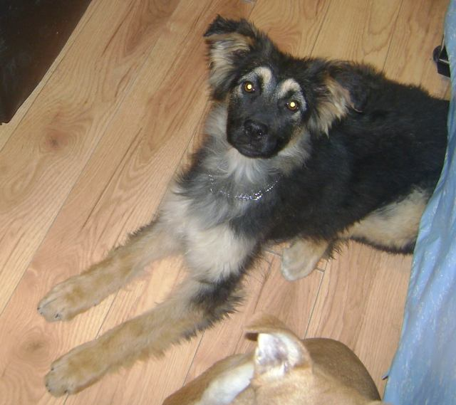 Dandelion is a female shepherd cross.