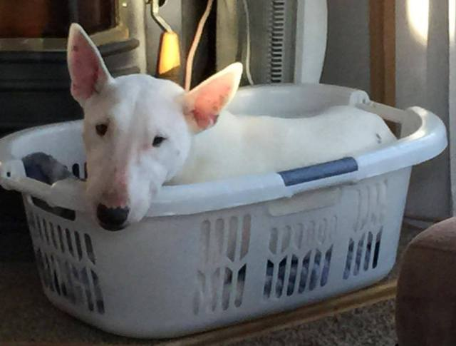 Whitey is a 5-year-old male Miniature Bull Terrier.