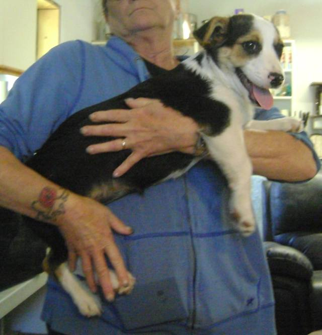 Bagel is a male Jack Russell- looking pup.