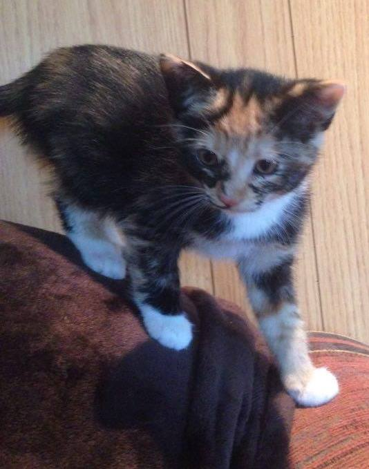 Isis is a female kitten from the Greek God litter.
