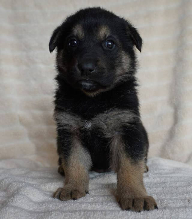 Jasmine is a female puppy from YARN's Disney Princesses Litter.