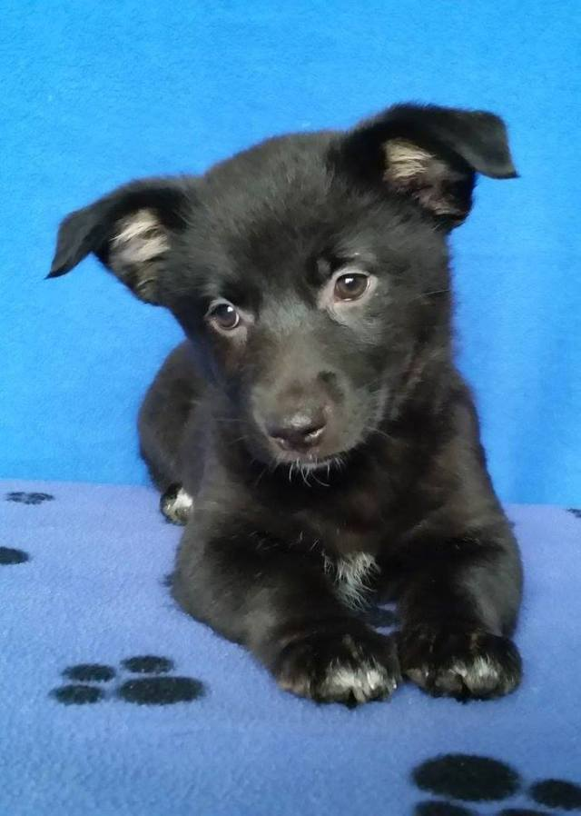 Charolais is a female puppy from YARN's Cow Litter.