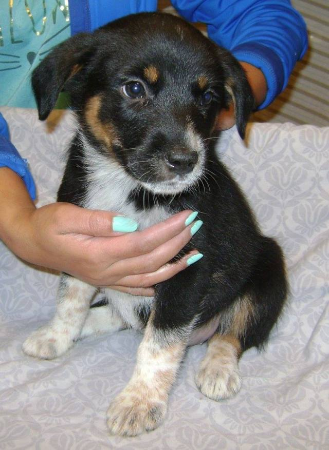 Palm is a female, blue heeler x.